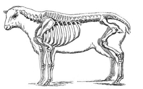 galeria-animal-anatomia-ossos-pasto-bones-skull-cattle-vetarq