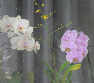White and Pink Orchids, photo ©2015 Tina M. Welter,  Windowsills of Dresden