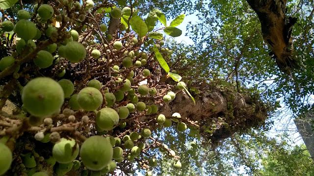 Ficus, Umbar, Figs