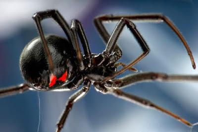 تفسير حلم رؤية العنكبوت الأسود في المنام