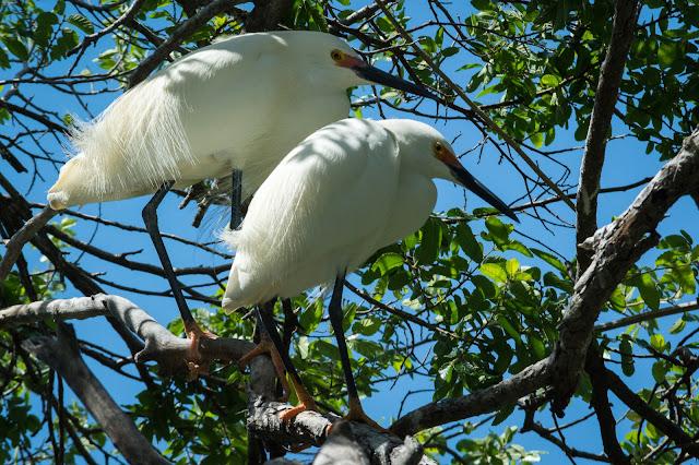 Snowy Egrets, UT Southwestern Rookery
