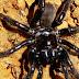 Dünyanın en yaşlı örümceği 43 yaşında öldü