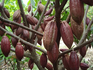 cara agar tanaman kakao berbuah lebat,tanaman kakao,buah kakao