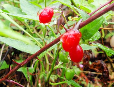 Dulcarama (Solanum dulcamara)