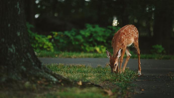 Wallpaper: Lovely Deer