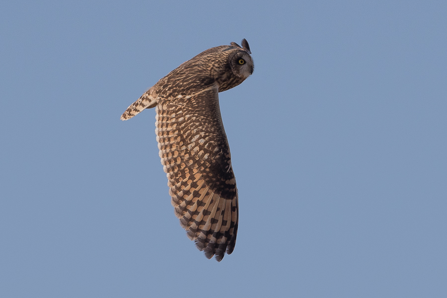Five Short-eared Owls – Al Asfar Lake