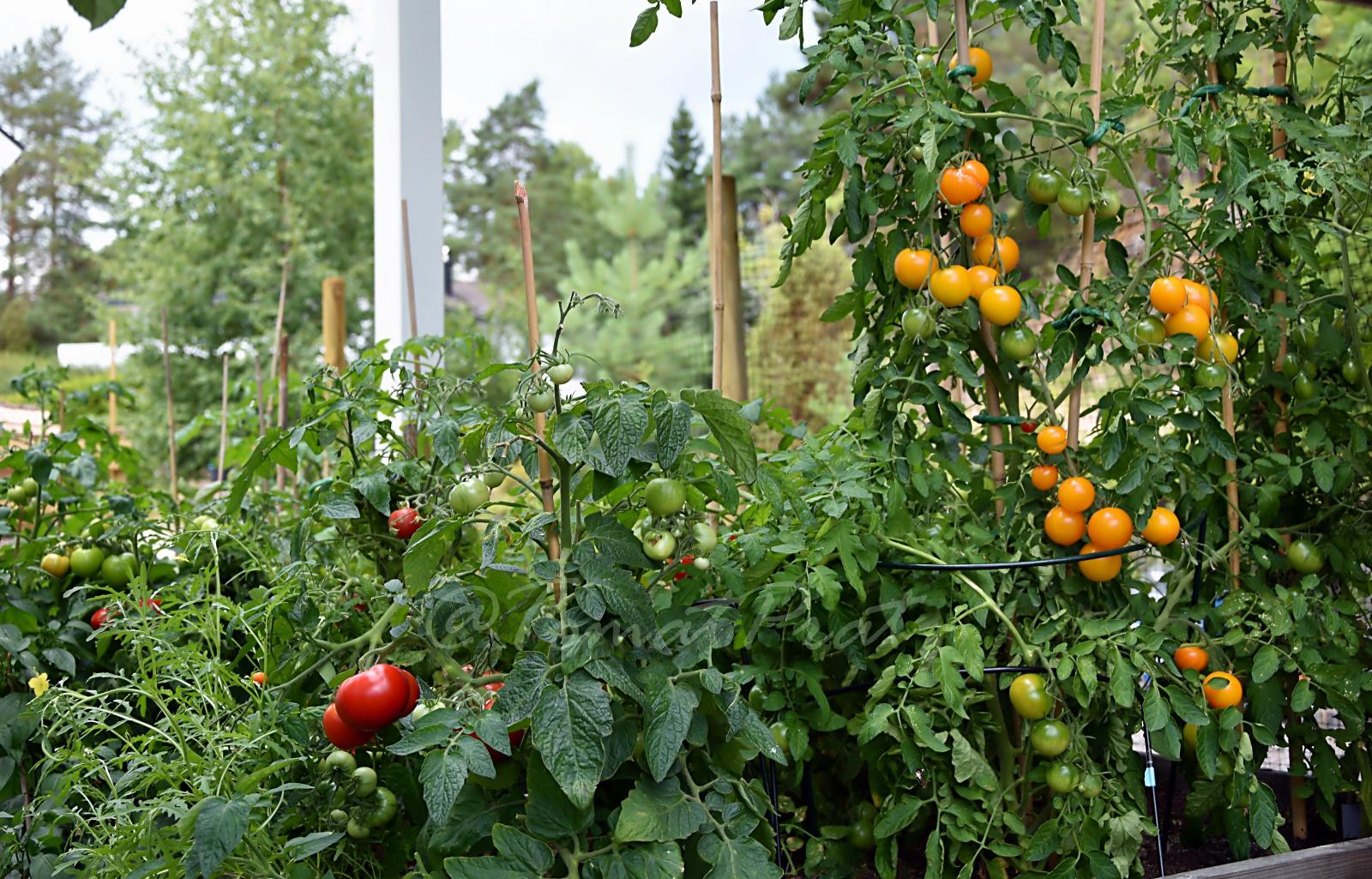 70f1d2ec9 TomatPrat: TIPS: SLIK LYKKES DU MED UTENDØRS TOMATDYRKING!