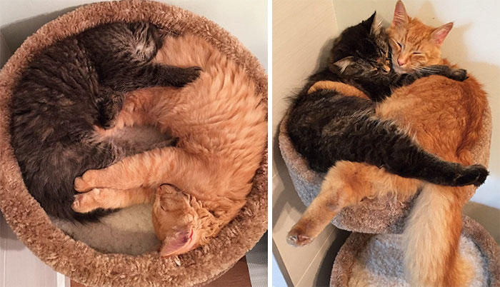#10 Inseparable Cats Lili And Renley Insist On Sleeping Together Even After Outgrowing Their Bed - 15 Before & After Pics Of Animals Growing Up Together