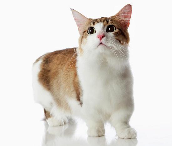 kucing bertubuh kecil di dunia