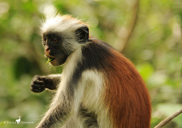 Hope for one of the world's rarest primates: First census of Zanzibar Red Colobus monkey