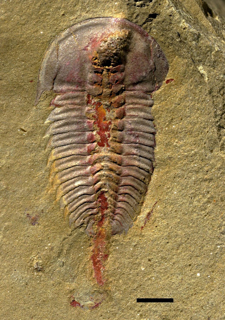 Early trilobites had stomachs, new fossil study finds