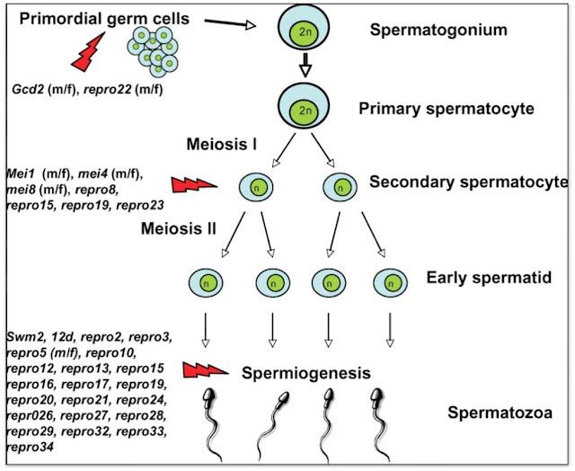 Spermatogenesis dan Struktur Sel Sperma