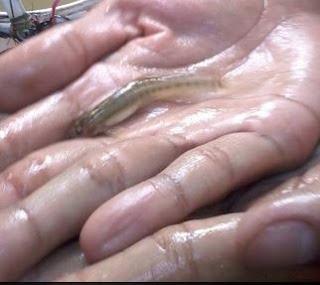 Tips Mancing Ikan Uceng tapa uceng boso selusur tapa