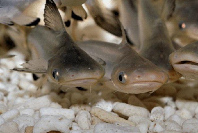 Pembenihan Ikan Patin