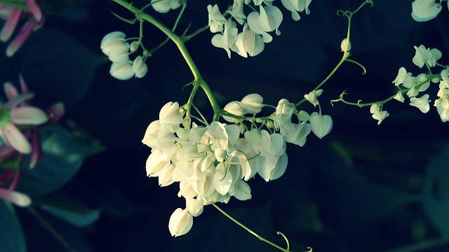 Cara Menanam Bunga Air Mata Pengantin, Bunga Air Mata Pengantin Warna Putih