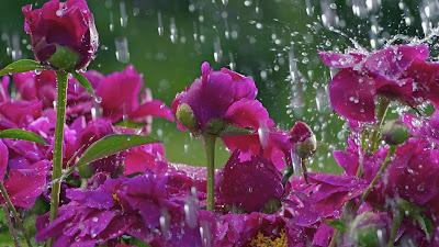 rainy-roses-walls-pics-imgs