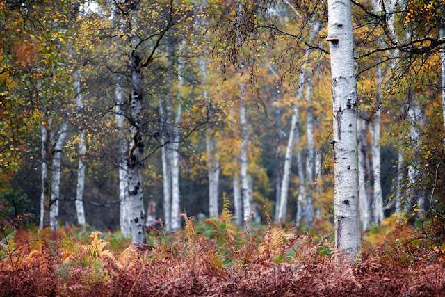 Natural England woodland at Holme Fen with full autumn bloom on the silver birch trees