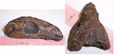 Romeria skull