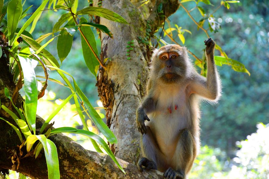 makaki w tajlandii