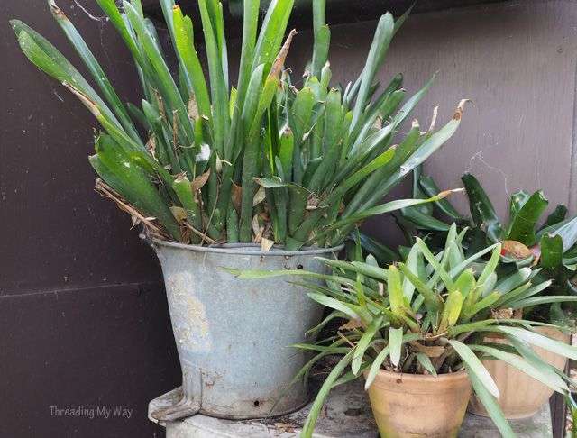 Metal mop bucket recycled into a pot for bromeliads ~ Threading My Way