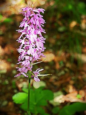 Parco Nazionale Monti Sibillini Estate fiori rosa