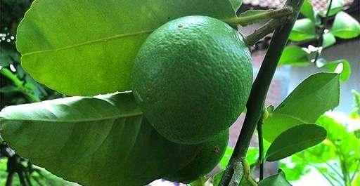 Cara Mengobati Batuk Kering Dengan Jeruk Nipis, Obat Alami dan Ampuh