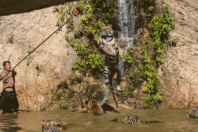 Мужчина играет с тиграми