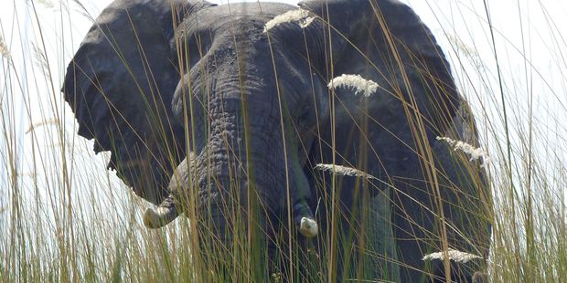 Elephants never forget ... and almost never sleep