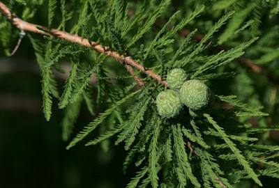 Baldcypress (Taxodium distichum)