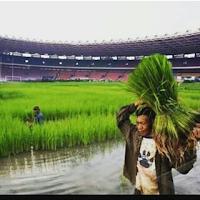 meme gambar lucu stadion gbk di tanami padi