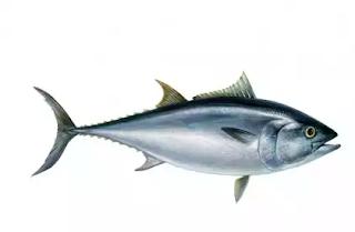 """""""ikan tuna"""""""