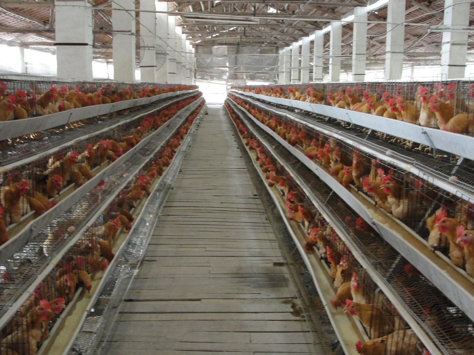 Contoh Proposal Budidaya Ternak Ayam Petelur Home Business