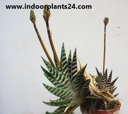 Aloe variegata  indoor house plant photo potted