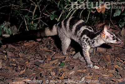 Owston´s Civet