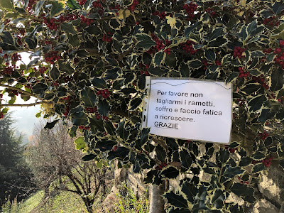 A holly bush that suffers from unwanted pruning.