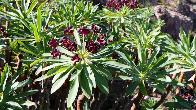 Euphorbia atropurpurea f. atropurpurea
