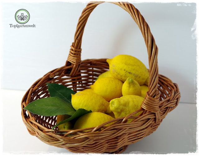 Gartenblog Topfgartenwelt Rezept: Zitronengelee-Zitronensirup aus Bio-Früchten gewachsen im Garten