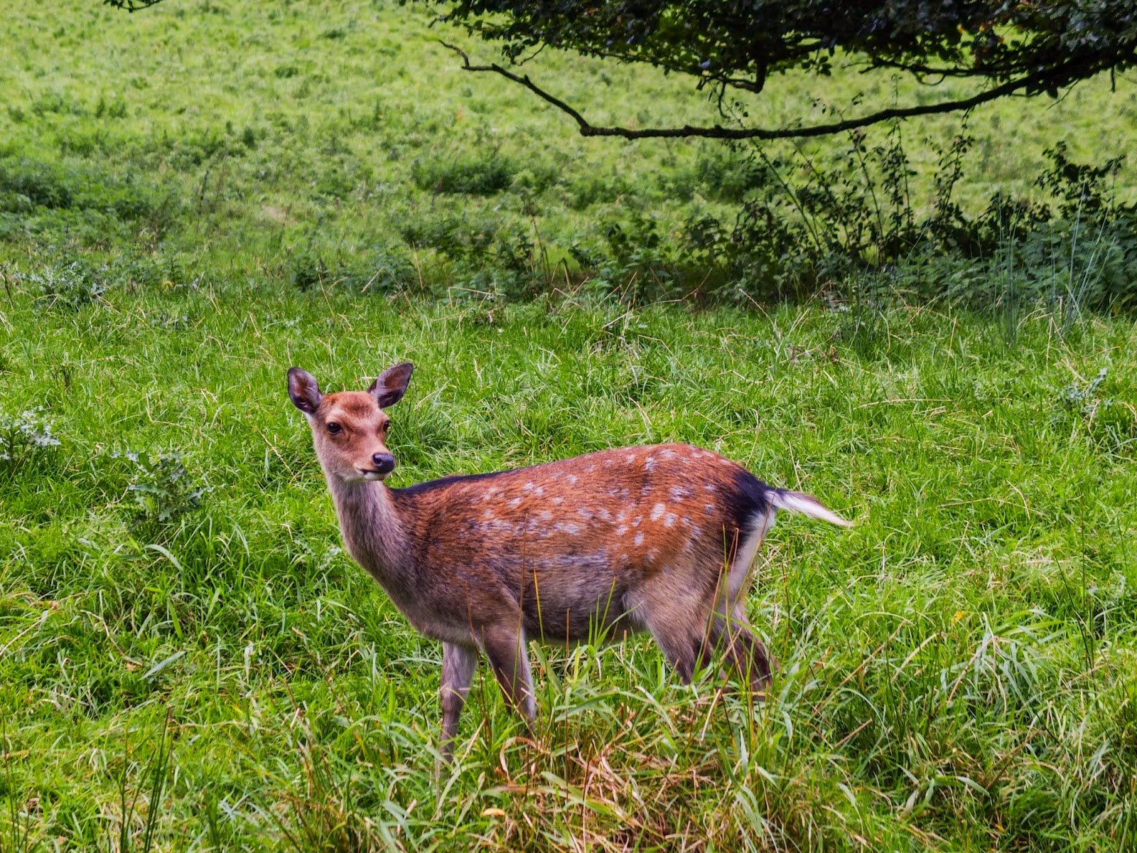A doe in grass in the Doneraile Wildlife Park, Co.Cork.