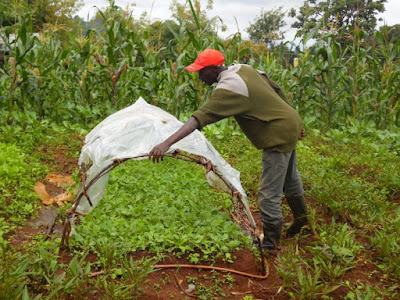 Kenyan farmers tackle crop failure by swapping seeds for seedlings