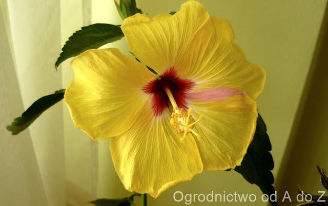 Hibiscus rosa- sinensis