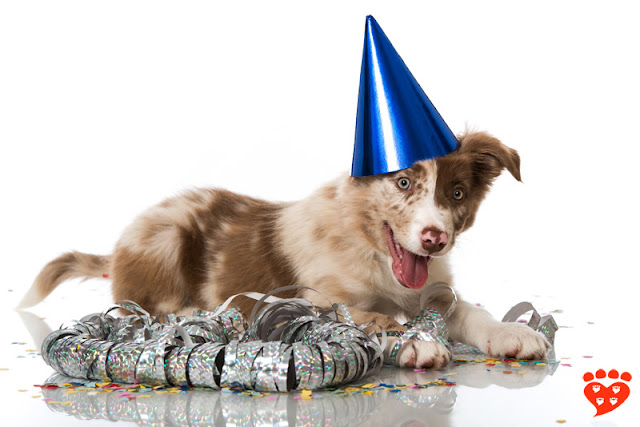 A happy Australian Shepherd puppy dog in a party hat
