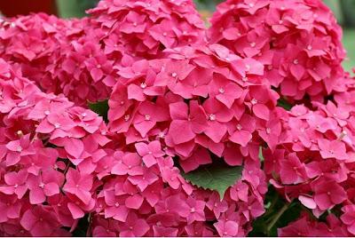 Hình ảnh đẹp hoa cẩm tú cầu
