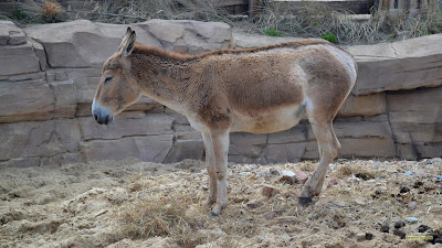Bruine ezel in dierentuin Wildlands in Emmen.