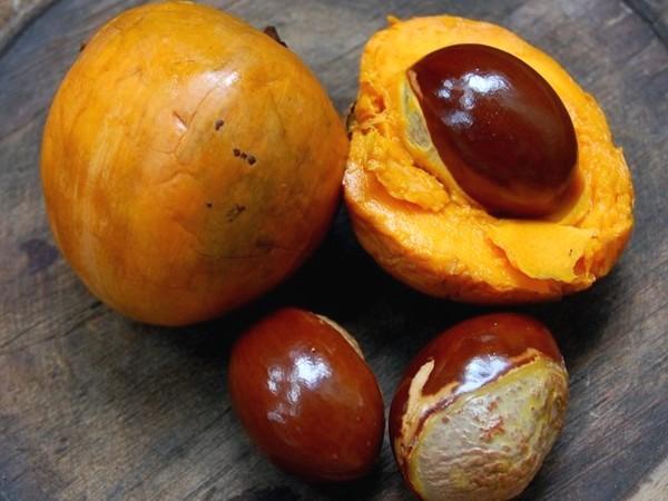 buah alkesah dan bijinya