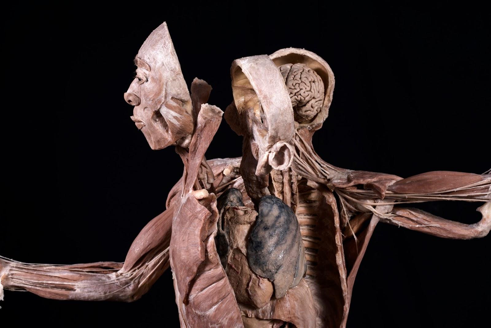Exhibición BODIES Cuerpos Reales comienza este 17 de junio - PRENSA ...