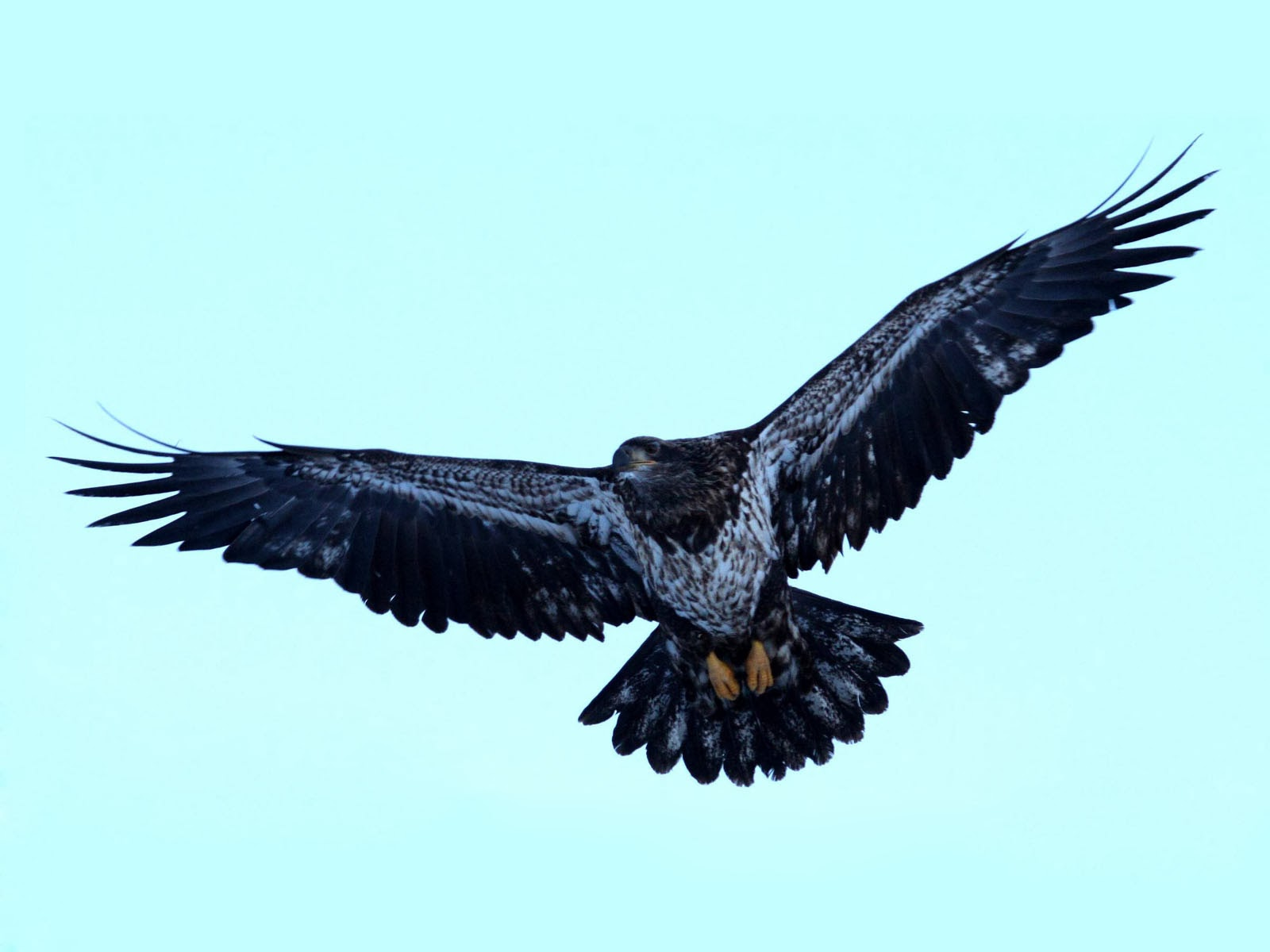 Wallpapers Juvenile Bald Eagle Wallpapers