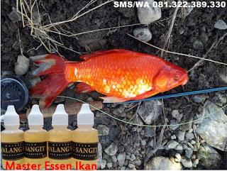 Essen Ikan Mas Harian Aroma Walang Sangit