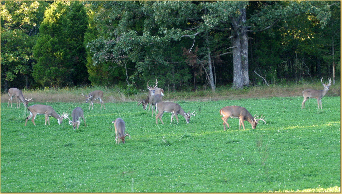 What S The Best Food Plot For Elk