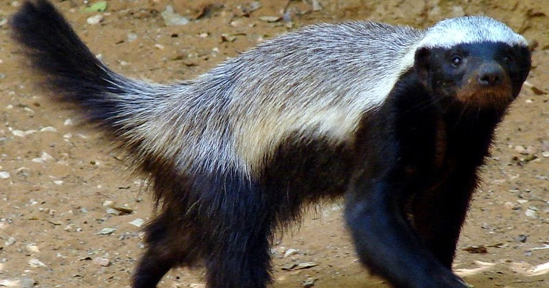 honeyguide bird and badger mutualism relationship