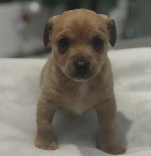 cachorro tamaño pequeno
